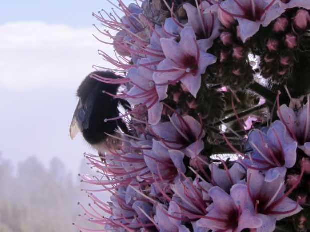 A bumblebee on a tower of jewels (Echium wildpretii).
